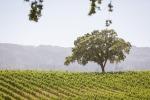23-Napa-Valley-Sonoma-Wedding-Photographer-Photojournalism-BR-Cohn-Winery-Vineyard-Wedding-Classic-Elegant-Sugar-Rush